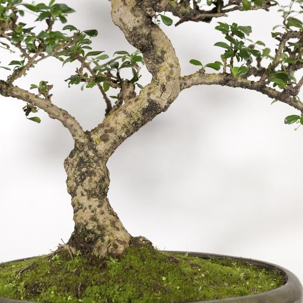 Carmona macrophylla -  Pianta del tè - 85 cm