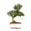 Buxus harlandii - Bosso - 29 cm