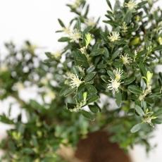 Buxus harlandii -  Boxwood - 29 cm