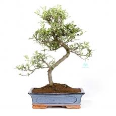 Pepper tree - Albero del pepe - 50 cm