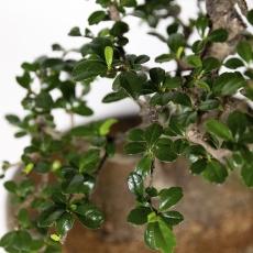 Carmona macrophylla -  Pianta del tè - 45 cm