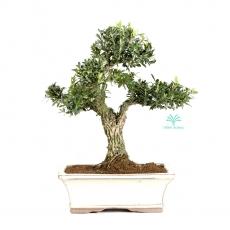 Buxus harlandii -  Boxwood - 32 cm