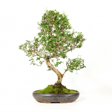 Carmona macrophylla -  Pianta del tè - 74 cm
