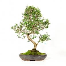Carmona macrophylla -  Tea tree - 74 cm