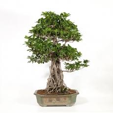 Ficus formosanum - 95 cm