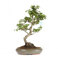 Carmona macrophylla -  Pianta del tè - 42 cm