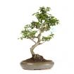 Carmona macrophylla -  Tea tree - 42 cm