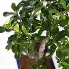 Carmona macrophylla - Tea tree  - 30 cm