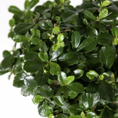 Carmona macrophylla -  Pianta del tè - 27 cm
