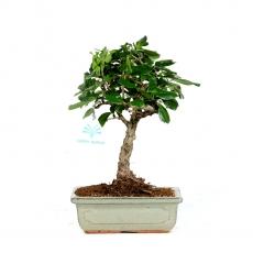 Carmona macrophylla - Tea tree - 24 cm