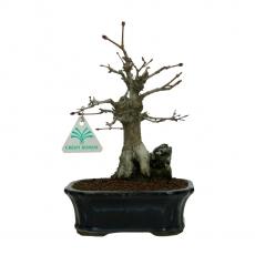 Acer palmatum - érable - 25 cm