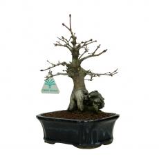 Acer palmatum -  acero - 25 cm
