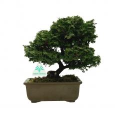 Chamaecyparis obtusa - False Cypress - 26 cm