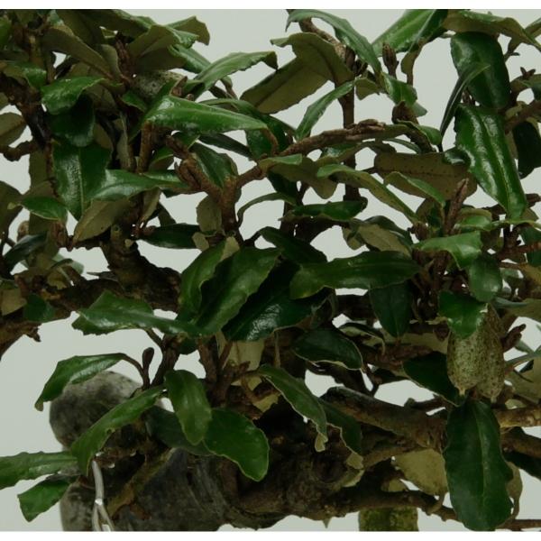 Elaeagnus - Oléastre - 23 cm