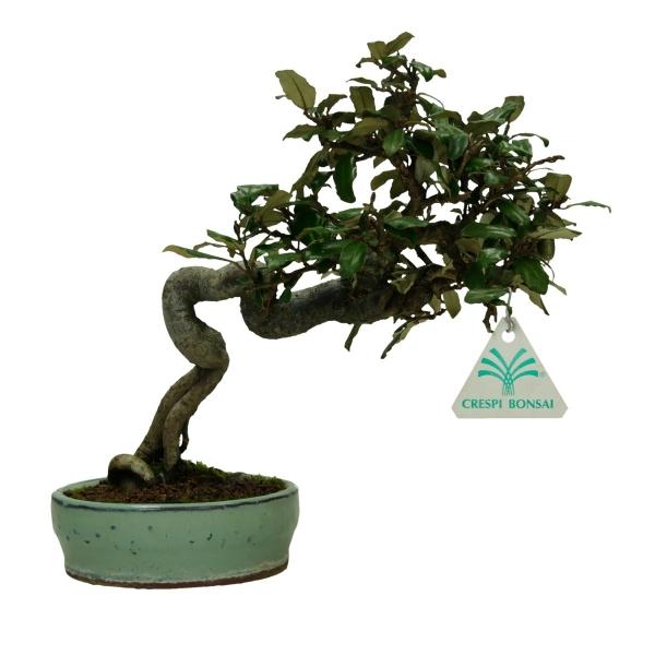 Elaeagnus - Silverberry - 23 cm