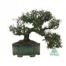 Trachelospermum asiaticum - 22 cm