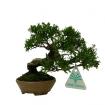 Juniperus chinensis - Genévrier de Chine - 13 cm