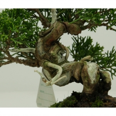 Juniperus chinensis - Juniper - 13 cm