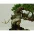 Juniperus chinensis - Ginepro - 13 cm