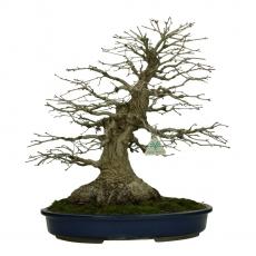 Acer palmatum Katsura - érable - 45 cm