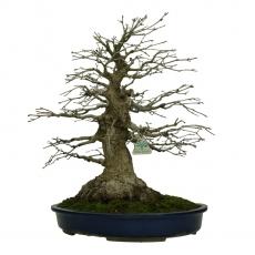 Acer palmatum Katsura - maple - 45 cm