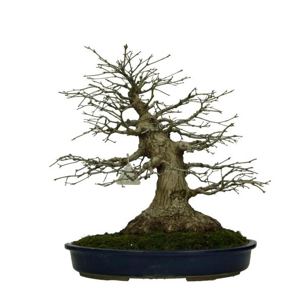 Acer palmatum Katsura - acero - 45 cm