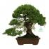 Juniperus chinensis - Genévrier de Chine - 32 cm
