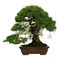 Juniperus chinensis - Juniper - 32 cm