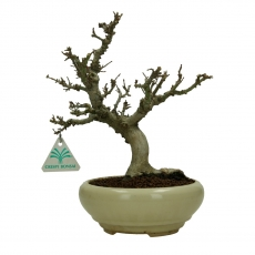 Acer palmatum Kotohime - maple - 26 cm