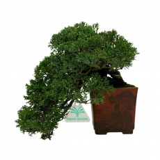 Juniperus chinensis - Juniper - 23 cm