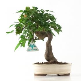 Acer buergerianum - acero - 26 cm