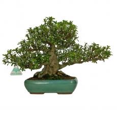 Azalea - 30 cm