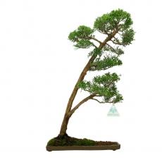 Juniperus chinensis - 46 cm