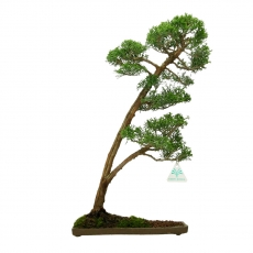 Juniperus chinensis - Ginepro - 46 cm