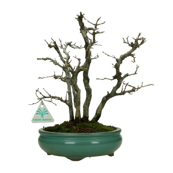 Carpinus turczaninowii - Charme - 30 cm