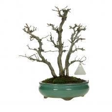 Carpinus turczaninowii - 30 cm