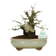 Acer palmatum Viridis - acero - 18 cm