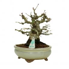 Acer palmatum Viridis - érable - 18 cm