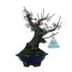 Prunus mume - 22 cm