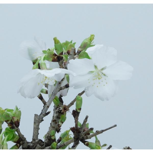 Prunus avium - 21 cm
