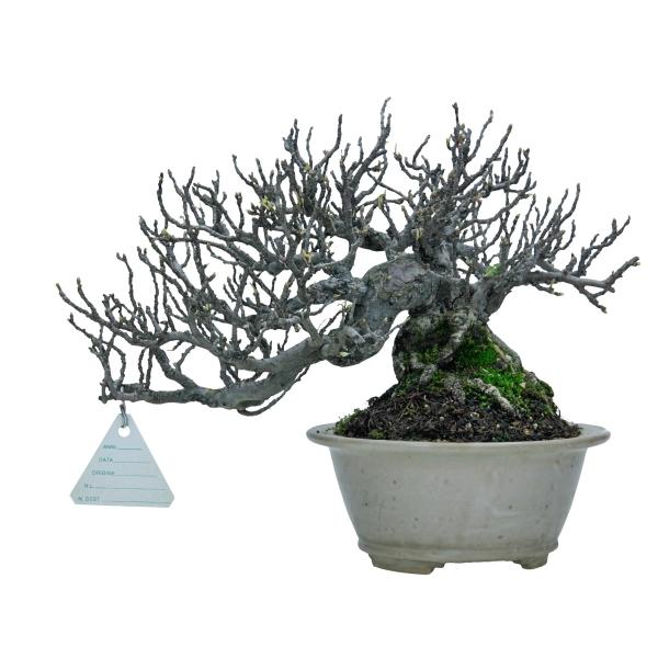 Osteomeles anthyllidifolia - 21 cm