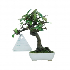 Elaeagnus - Silverberry - 12 cm