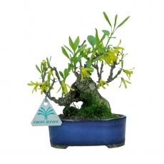 Forsythia - Forsizia - 20 cm