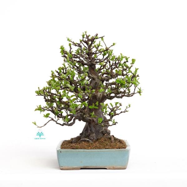 Pseudocydonia chinensis - Cotogno - 45 cm