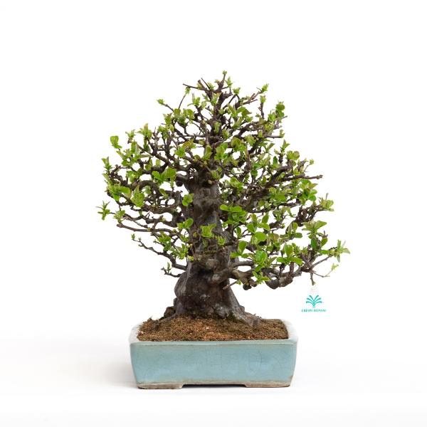 Pseudocydonia chinensis - Cognassier - 45 cm