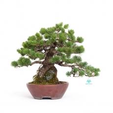 Pinus pentaphylla  - Pinus - 33 cm
