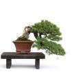 Pinus pentaphylla - 45 cm