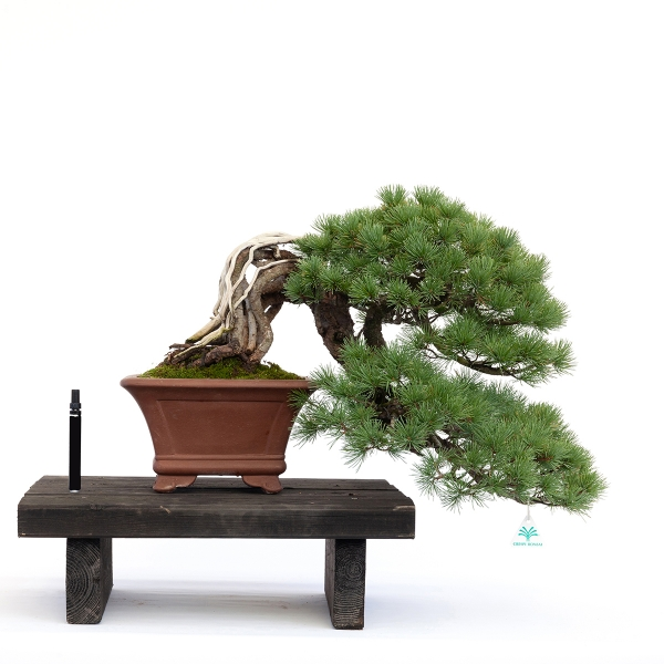 Pinus pentaphylla - Pino - 45 cm