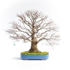 Acer palmatum Viridis - maple - 77 cm