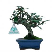 Elaeagnus pungens - Silverthorn - 19 cm